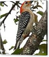'red-bellied Woodpecker' Melanerpes Carolinus  Acrylic Print