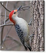 Red Bellied Woodpecker Pose Acrylic Print