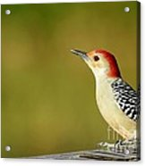 Red Bellied Woodpecker Acrylic Print