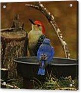 Red- Bellied Woodpecker Acrylic Print