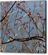 Red Berries 2 Acrylic Print