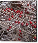 Red Berries Covered In Snow Acrylic Print