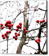 Red Berry Sprig Acrylic Print