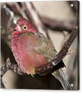 Red Billed Firefinch Acrylic Print