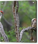 Red-billed Hornbills Acrylic Print