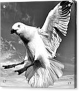 Red Billed Seagull In Black And White Acrylic Print