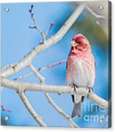 Red Bird Blue Sky Warm Sun Acrylic Print