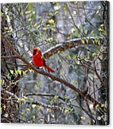 Red Bird In Dogwood Acrylic Print