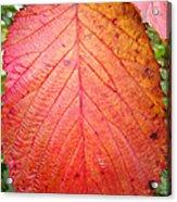 Red Blackberry Leaf Acrylic Print