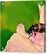 Red Blister Beetle Acrylic Print