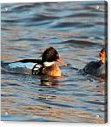 Red Breasted Merganser Pair Acrylic Print