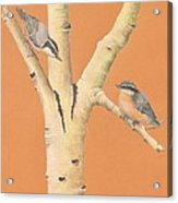 Red-breasted Nuthatches On Aspen Acrylic Print