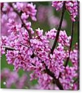 Red Buds Acrylic Print