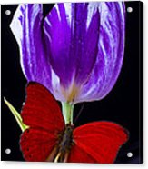 Red Butterfly And Purple Tulip Acrylic Print