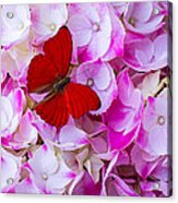 Red Butterfly On Hydrangea Acrylic Print