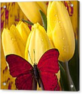 Red Butterfly Resting On Tulips Acrylic Print