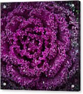 Red Cabbage Acrylic Print
