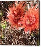 Red Cactus Acrylic Print