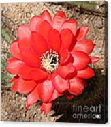 Red Cactus Flower Square Acrylic Print