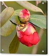 Red Camelia Buds Acrylic Print