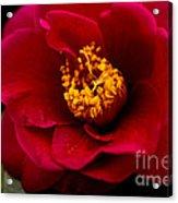 Red Camellia Acrylic Print