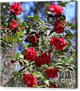 Red Camellias And Blue Sky Acrylic Print