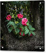 Red Camellias Acrylic Print