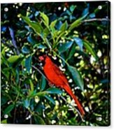 Red Cardinal 1 Acrylic Print