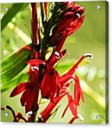 Red Cardinal Flower Acrylic Print