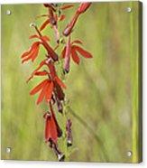 Red Cardinal Flower Acrylic Print