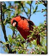 Red Cardinal In Springtime Acrylic Print