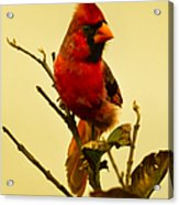 Red Cardinal No. 2 - Kauai - Hawaii Acrylic Print