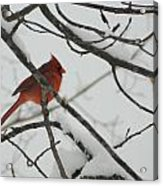 Red Cardinal On Snow Covered Tree Limb Acrylic Print