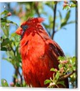 Red Cardinal Pink Blooms Acrylic Print