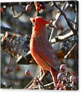 Red Cardinal Pose Acrylic Print