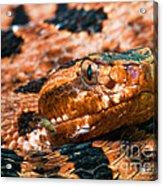 Red Carolina Pygmy Rattlesnake Acrylic Print