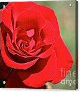 Red Carpet Rose Acrylic Print