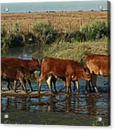 Red Cattle Acrylic Print