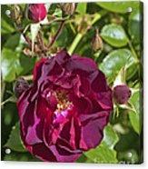 Red Climbing Rose Acrylic Print