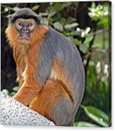Red Colobus Monkey Acrylic Print