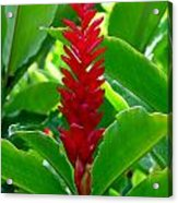Red Cone Ginger Acrylic Print