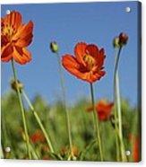 Red Cosmos Flower Acrylic Print