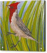 Red-crested Cardinal Acrylic Print by Anna Skaradzinska