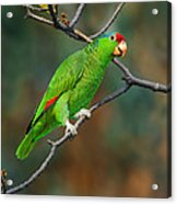 Red-crowned Amazon Acrylic Print
