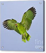 Red-crowned Parrot Acrylic Print