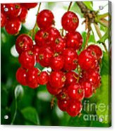Red Currants Ribes Rubrum Acrylic Print