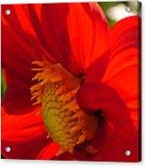 Red Dahlia Elegance Acrylic Print