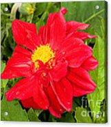 Red Dahlia Flower Acrylic Print