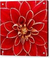 Red Dahlia Acrylic Print