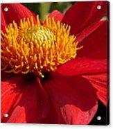Red Dahlia Starlet Acrylic Print